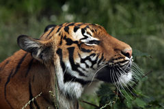 Malayan tiger (Panthera tigris jacksoni). Royalty Free Stock Photo