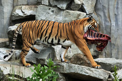 Malayan tiger (Panthera tigris jacksoni). Stock Photos