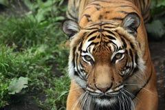 Malayan tiger (Panthera tigris jacksoni). Royalty Free Stock Photo