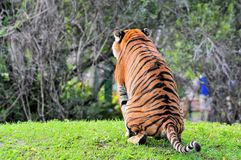 Malayan Tiger Peeing Stock Photography