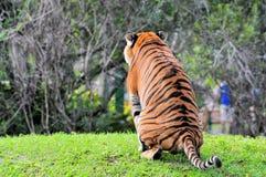 Malayan Tiger Peeing Stock Photography
