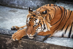 Malayan Tiger. Portrait of Sumatran tiger (Panthera tigris jacksoni) resting at ZOO Stock Photography