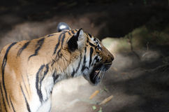 Malayan tiger Stock Photography