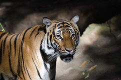 Malayan tiger Royalty Free Stock Image