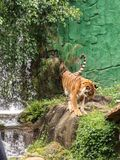 Relaxing tiger stock images