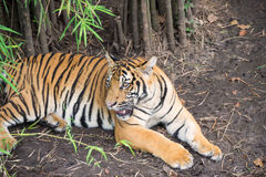Malayan Tiger resting under the bamboo trees Stock Images