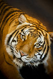 Malayan Tiger stares intently while resting in sha Royalty Free Stock Photo
