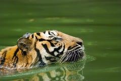 Free Malayan Tiger Swimming , Endangered Species Stock Photo - 114775920