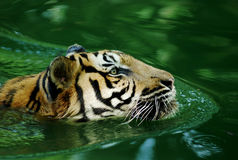 Malayan tiger royalty free stock photos