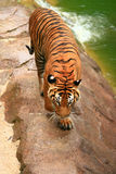 Malayan Tiger from top Royalty Free Stock Photos