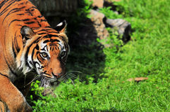 Malayan tiger walking Stock Image
