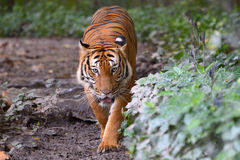 Malayan tiger Royalty Free Stock Photo