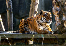 Malayan tiger . Wildlife animal. Royalty Free Stock Photography