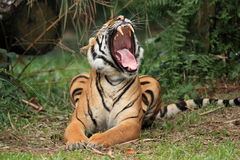 Malayan Tiger Yawning. The Malayan Tiger yawning in the zoo Stock Photography