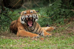 Malayan Tiger Yawning. The Malayan Tiger yawning in the zoo Stock Photo