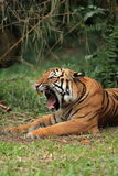 Malayan Tiger Yawning Stock Photo
