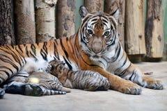 Malayan tigers Stock Image