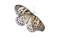 Malayan tree nymph butterfly  on white Stock Images