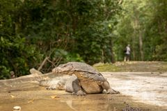 Malayan Water Monitor Lizard, Varanus salvator, lying on the road, man walking in the background stock images