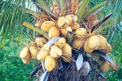 Malayan Yellow Dwarf (MYD) Coconuts. The closeup of Malayan Yellow Dwarf (MYD) coconuts Stock Image