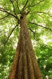 Malayana grande do Irvingia da árvore Foto de Stock