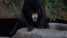 Malayanus de Helarctos del oso de Sun metrajes