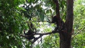 Malayanus de Helarctos del oso de Sun que duerme en árbol almacen de metraje de vídeo