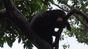 Malayanus de Helarctos del oso de Sun que duerme en árbol almacen de video