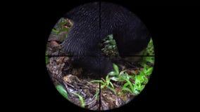 Malayanus de Helarctos del oso de Sun visto en alcance del rifle del arma Caza de la fauna El escalfar en peligro, vulnerable, y metrajes
