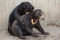 Malayanus malais de Helarctos d'ours du soleil Photos libres de droits