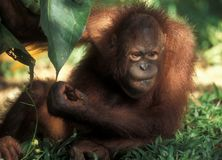 Endangered species in Borneo: Orang Utan at Sepilok stock photography