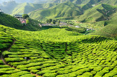 Malaysia, Cameron Highlands. Tea Plantation in the Cameron Highlands, Malaysia Stock Images