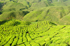 Malaysia, Cameron Highlands, Tea plantation Royalty Free Stock Photo