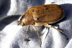 Malaysia, langkawi: Brown coleoptera Royalty Free Stock Images