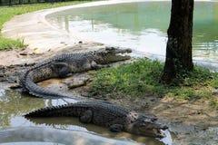 Malaysia Langkawi två krokodil Royaltyfria Bilder