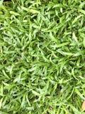 Malaysia mattgräs Arkivbild