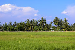 Malaysia paddy field Royalty Free Stock Photo