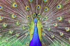 Malaysia, Pangkor Island: Peacock Stock Photos