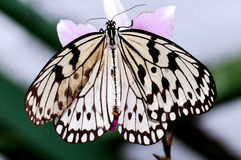 Free Malaysia, Penang: Butterfly Royalty Free Stock Photo - 4825515