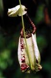 malaysia penang kannaväxt fotografering för bildbyråer