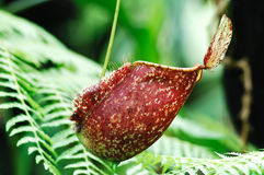 Malaysia; penang; pitcher plant Royalty Free Stock Photography