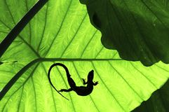Malaysia, Penang: Vegetation in the jungle. Malaysia, Penang: Flowers in the jungle;  green tropical vegetation with a silhouette of a lezard Royalty Free Stock Photography
