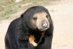 Malaysia sun bear Royalty Free Stock Photos