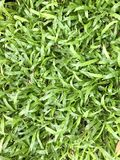 Malaysia-Teppich-Gras Stockfotografie
