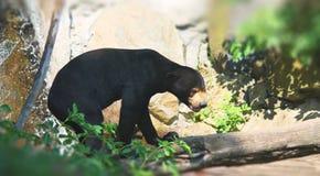 Malaysian bear Royalty Free Stock Photography