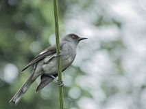Malaysian bird Long-tailed sibia Stock Photo