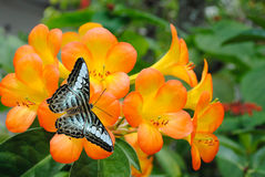 Malaysian blue clipper butterfly. Tropical Rhododendron simbu sunset flowers with a Malaysian blue clipper butterfly Latin name parthenos sylvia violacea Stock Photo