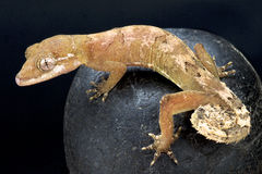 Malaysian Bowfingered Gecko (Cyrtodactylus Elok) Royalty Free Stock Photos