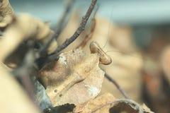 Malaysian dead leaf mantis Royalty Free Stock Photos