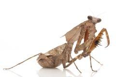 Malaysian Dead Leaf Mantis. (Deroplatys lobata) isolated on white background Stock Image